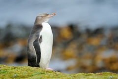 Yellow-eyed Penguin. Standing in front of ocean Royalty Free Stock Image