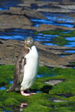 Yellow-eyed Penguin. Stood on rocks by sea, Curio Bay, South Island, New Zealand Stock Images