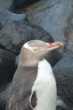 Yellow Eyed Penguin Stock Photo
