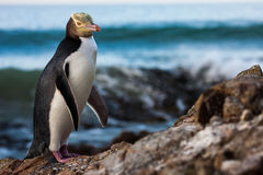 Yellow-eyed Penguin. Yellow eyed penguin coming on shore for the night Royalty Free Stock Image