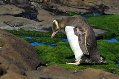 Yellow Eyed Penguin with Craned Neck Royalty Free Stock Images