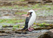 Yellow-eyed penguin Royalty Free Stock Photos