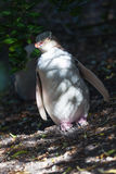 Yellow Eyed Penguin hiding in the shadow Royalty Free Stock Photos