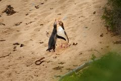 Yellow-eyed penguin - hoiho - Megadyptes antipodes, breeds along the eastern and south-eastern coastlines of the South Island of. New Zealand, Stewart Island stock image