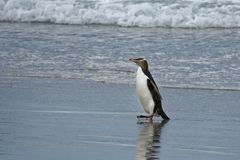 Yellow-eyed penguin - hoiho - Megadyptes antipodes, breeds along the eastern and south-eastern coastlines of the South Island of. New Zealand, Stewart Island royalty free stock images