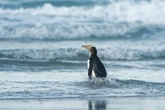 Yellow-eyed penguin - hoiho - Megadyptes antipodes, breeds along the eastern and south-eastern coastlines of the South Island of. New Zealand, Stewart Island stock photography