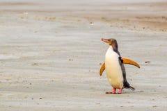 Penguin - Yellow Eyed. Yellow Eyed Penguin Walking On Sandy Beach, Otago Peninsula, South Island, New Zealand stock photos
