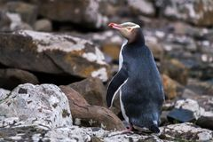 Free Yellow-eyed Penguins In The South Island, New Zealand Stock Photo - 155282260