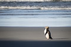 Yellow-eyed penguins are are found in the southern regions of New Zealand. stock photo