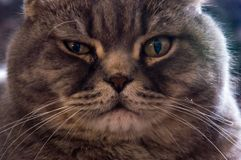 Yellow-eyed Scottish Fold male cat close-up portrait royalty free stock photography