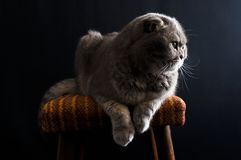 Yellow-eyed Scottish Fold male cat laying down on a chair stock photography