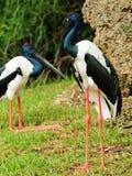 Yellow-eyed Stork Stock Image