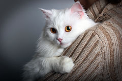 Yellow eyed white cat on a woman`s shoulder.  Stock Photos
