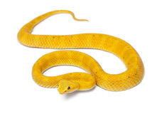Yellow Eyelash Viper - Bothriechis schlegelii Stock Photo