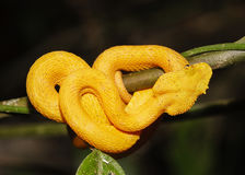 Yellow Eyelash Viper in Costa Rica Stock Images