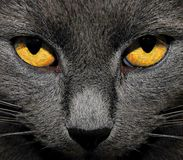 Yellow eyes Royalty Free Stock Images
