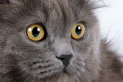 Yellow eyes. Of a gray fluffy cat Stock Image