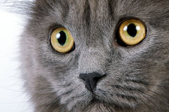 Yellow eyes. Of a gray fluffy cat Royalty Free Stock Photos