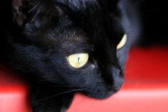Yellow eyes. Black cat's face with great yellow eyes Royalty Free Stock Images