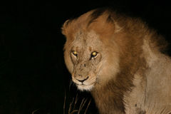 Yellow eyes. Male lion with fierce yellow eyes Royalty Free Stock Photo