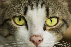 Yellow eyes cat portrait Royalty Free Stock Image