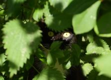 Yellow eyes of a cat sitting in ambush. In green thickets royalty free stock photo