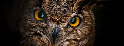 Yellow eyes of horned owl close up on a dark background