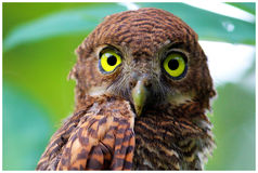Yellow eyes. Jungle owlet in kerala. Angry looking face Royalty Free Stock Images