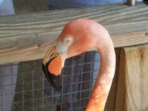 The face of a pink flamingo bird. Yellow eyes look odd on this pink tropical flamingo bird stock images