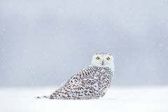 Yellow eyes in white. Winter scene with white owl. Snowy owl, Nyctea scandiaca, rare bird sitting on the snow,  snowflakes in wind Royalty Free Stock Photo