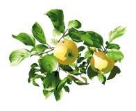 yellow för äpplen två Royaltyfria Foton