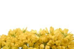 yellow för 2 blommor Fotografering för Bildbyråer