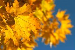 yellow för 2 filial Arkivfoto