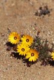 yellow för africa ökenväxt söder Fotografering för Bildbyråer