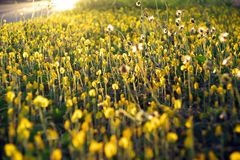 yellow för arachisduranensisblomma Arkivbilder