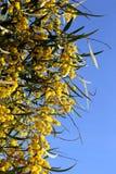 yellow för blom- för blommor för bakgrundsfilial rund fluffig växt för mimosa Royaltyfri Foto