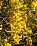 yellow för blom- för blommor för bakgrundsfilial rund fluffig växt för mimosa Royaltyfri Fotografi