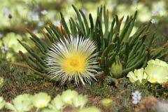 yellow för blommaväxtsuckulent arkivfoto