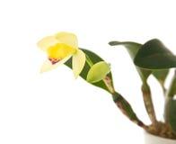 yellow för cattleyaöppningsorchid Royaltyfria Foton