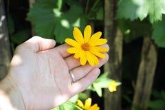 yellow för dendrantemablommahand Royaltyfri Foto