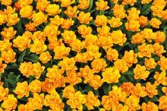 yellow för fältfjädertulpan Royaltyfria Bilder