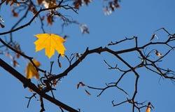 yellow för filiallövverklönn Royaltyfri Bild