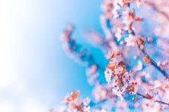 yellow för fjäder för äng för bakgrundsmaskrosor full blå Cherrysky för blomning fotografering för bildbyråer