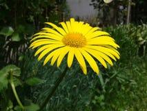 yellow för fjäder för dof-blomma grund Royaltyfria Foton
