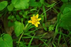 yellow för fjäder för dof-blomma grund Arkivbild