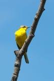 yellow för flavamotacillawagtail fotografering för bildbyråer