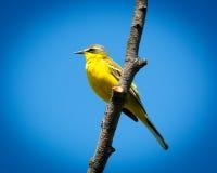 yellow för flavamotacillawagtail arkivbild