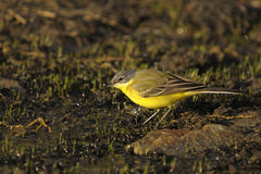 yellow för flavamotacillawagtail Royaltyfria Foton