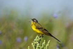 yellow för flavamotacillawagtail arkivbilder