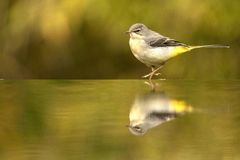 yellow för flavamotacillawagtail songbird arkivfoton